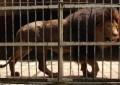 14 Ekor Singa Dijadikan Terdakwa , 3 Diantaranya Terbukti Bersalah